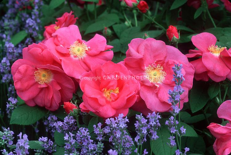 Rosa gallica var. officinalis (Fragrant Apothecary Rose) & English Lavender Lavandula angustifolia 'Munstead' herb