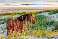 Wild Spanish mustangs have roamed free in the Northern Outer Banks for nearly 500 years. They are descended from horses from ancient shipwrecks. A small herd of nearly 100 wild mustangs still roam free in the 4WD section of the Northern Outer Banks.