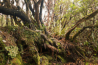 Native forest on Mt. Fox Track, Westland Tai Poutini National Park, West Coast, World Heritage Area, New Zealand