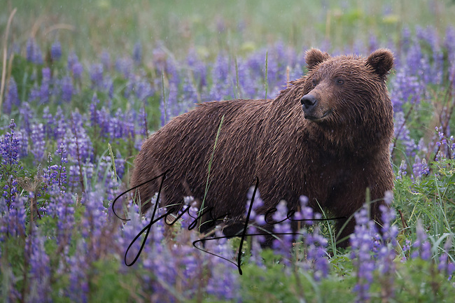 Springtime Grizzly. Lake Clark National Park Alaska