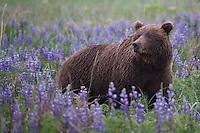 Springtime Grizzly. Lake Clark National Park Alaska