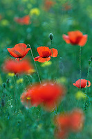 A meadow with Field Poppys (Papaver rhoeas), Girne, Northern Cyprus