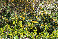Mahonia aquifoium?, Euphorbia amygdaloides var. robbiae, Lunaria annua, Helleborus