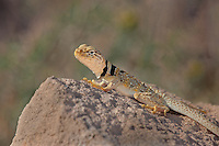 414390002 a wild male great basin or desert collared lizard crotaphytus insularis bicinctores sits on a rock outcrop in redding canyon in owens valley inyo county california united states