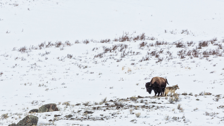 A single gray wolf and bison stand back to back during a light windy snowfall while standing atop a rocky snow-covered hillside in Yellowstone National Park, Wyoming.