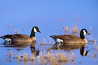 537216021 two wild canadian geese branta canadensis swim in a small lake at bosque del apache national wildlife refuge in new mexico