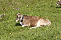 Liechtenstein  Malbun  June 2008.Small town high in the Alpine (southeastern)..The  Brown Swiss cow to the pasture..