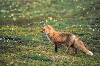 Red fox on the summer tundra in Denali National Park, Alaska