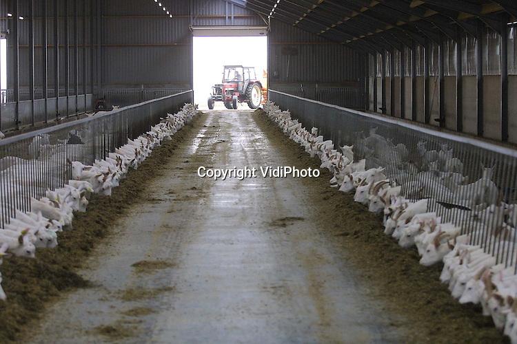 Foto: VidiPhoto (opdracht)..HEIJEN - Geitenboer Melis uit het Limburgse Heijen voert zijn duizend geiten.