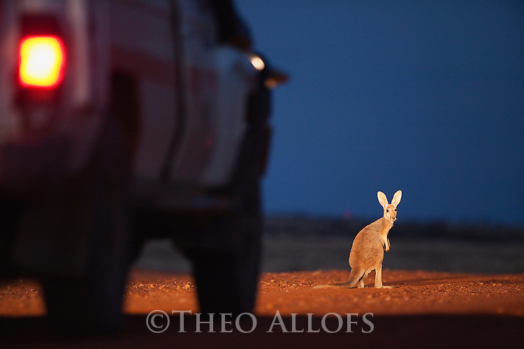 Australia,  NSW, Sturt National Park; red kangaroo in front of vehicle at dusk (Macropus rufus); the red kangaroo population increased dramatically after the recent rains in the previous 3 years following 8 years of drought