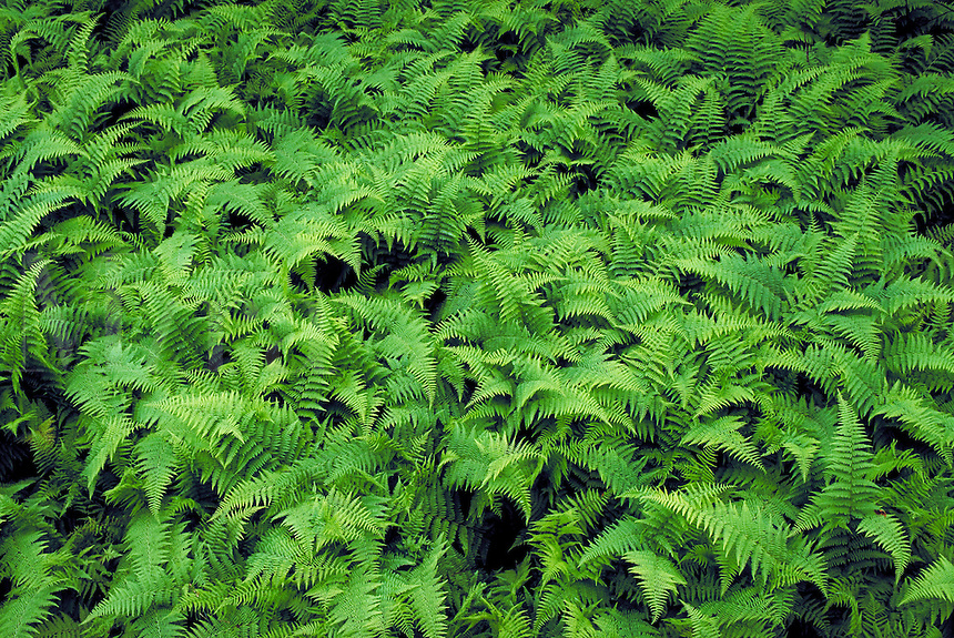A lush expanse of ferns in late springtime, West VA. Seasons, Spring, Moods, Scenic. Shavers Fork West Virginia USA.