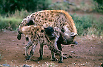Spotted hyena, Crocuta crocuta, reverse parallel greeting, Kruger national park, South Africa