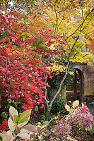 Autumn (fall) color of Yoshino Cherry tree (Prunus x yedoensis) and Japanese maple (Acer palmatum) trees in California garden