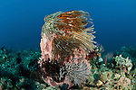Giant barrel sponge (Xestospongia testudinaria) studded with crinoids or featherstars with gorgonian fan