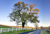 Old Ivy Road tree in Albemarle County, VA. Photo/Andrew Shurtleff