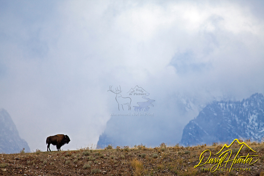 Bison, Grand Teton Natiional Park