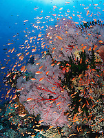 qe0379-D. colorful coral reef covered with gorgonian sea fans (Melithaea sp.), branching cup corals (Tubastraea micrantha) and Scalefin anthias (Pseudanthias squammipinnis) fish feeding in the current. Fiji, tropical Pacific Ocean..Photo Copyright © Brandon Cole. All rights reserved worldwide.  www.brandoncole.com..This photo is NOT free. It is NOT in the public domain. This photo is a Copyrighted Work, registered with the US Copyright Office. .Rights to reproduction of photograph granted only upon payment in full of agreed upon licensing fee. Any use of this photo prior to such payment is an infringement of copyright and punishable by fines up to  $150,000 USD...Brandon Cole.MARINE PHOTOGRAPHY.http://www.brandoncole.com.email: brandoncole@msn.com.4917 N. Boeing Rd..Spokane Valley, WA  99206  USA.tel: 509-535-3489