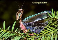 1M26-021z  Praying Mantis adult displaying - Tenodera aridifolia sinensis