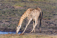 South African Giraffe drinking, Chobe Riverfront, Botswana