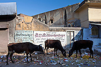 Cattle foraging in rubbish in Jaipur, Rajasthan, Northern India