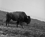 South Park PA:  A Buffalo grazing in South Park - 1965