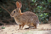 Desert Cottontail (Sylvilagus audubonii), Gilbert, Arizona, USA