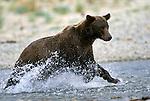 Alaskan Brown Bear (Ursus arctos) charging through the water in Southeast, AK