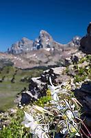 Colombine wildflowers, Grand Tetons, Grand Targhee, Alta, Wyoming