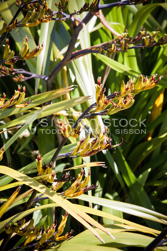 Flax flowers and flax plant, New Zealand - stock photo, canvas, fine art print