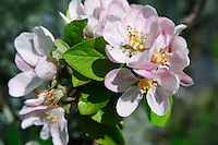 Stock Photos of close up of apple blossom an apple tree. Funky stock photos library