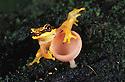 Peru, Tambopata River---Red-skirted tree frog (Hyla rhodopepla) on small mushroom
