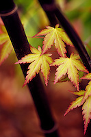 Leaves of Japanese Maple poking through stalks of Black Bamboo (phyllostachys nigra)