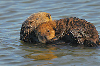 """Sea Otters (Enhydra lutris)--mom with young pup.  Young pups have light brown or yellowish fur called the """"natal pelage.""""  This fluffy fur helps the pup stay afloat before it learns the intricacies of swimming, and it will be completely replaced with dark brown adult fur by the time the pup is about three months old."""