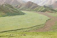 Herd of caribou (Rangifer tarandus) foraging in valley near Highway Pass with Alaska Range in background in Denali National Park in Southcentral Alaska. Summer. Morning.