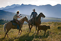 Mountain View, Alberta, Canada, July 2008. Cowboy Calin Duce ropes a calf. Rancher Dan Nelson takes us on a horse back trail ride in the hills connecting the Albertan prairie with the mountains of Waterton National Park. Photo by Frits Meyst/Adventure4ever.com