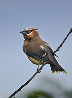 Cedar Waxwing on a perch