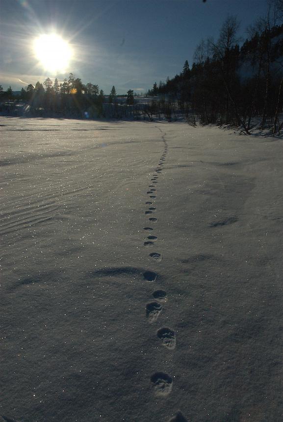 Gulo gulo tracks,Jervspor Landscape, landskap,