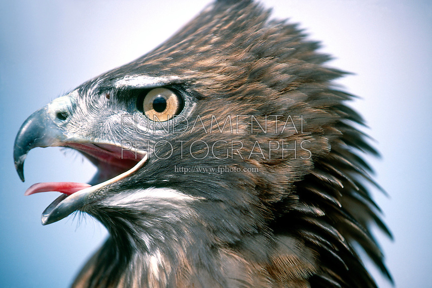 BIRDS OF PREY<br /> Red-Tailed Hawk Headshot<br /> (Buteo jamaicensis) threatening posture of the male.