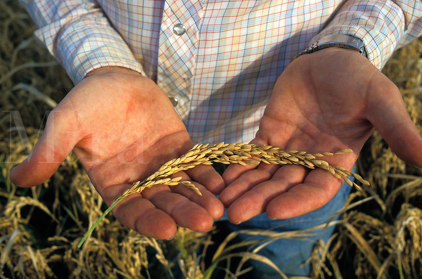 Farmer holding a stem of rice ready to be harvested