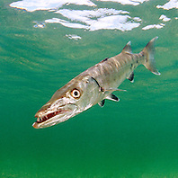 great barracuda, .Sphyraena barracuda, .Lewis Cut, Biscayne National Park, .Florida (Atlantic)