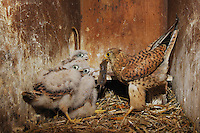 Common Kestrel (Falco tinnunculus), adult feeding young with mouse prey, Switzerland