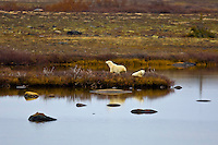 Mother Polar bear and cub, Hudson Bay, near Churchill, Manitoba, Canada