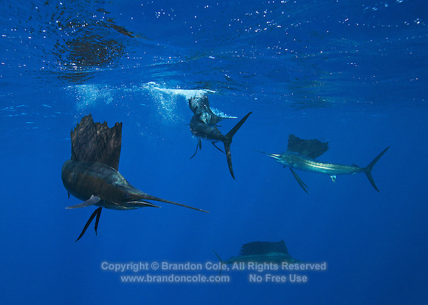 qh0665-D. Atlantic Sailfish (Istiophorus albicans) feeding on sardines. Some consider this the same species as the Indo-Pacific Sailfish (I. platypterus). Mexico, Gulf of Mexico..Photo Copyright © Brandon Cole. All rights reserved worldwide.  www.brandoncole.com..This photo is NOT free. It is NOT in the public domain. This photo is a Copyrighted Work, registered with the US Copyright Office. .Rights to reproduction of photograph granted only upon payment in full of agreed upon licensing fee. Any use of this photo prior to such payment is an infringement of copyright and punishable by fines up to  $150,000 USD...Brandon Cole.MARINE PHOTOGRAPHY.http://www.brandoncole.com.email: brandoncole@msn.com.4917 N. Boeing Rd..Spokane Valley, WA  99206  USA.tel: 509-535-3489