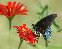 Battus philenor is found in the southern half of the United States (occasionally further north) The eggs of a pipevine swallowtail are red-orange and circular.