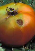 Caterpillar insect pest damage to tomato vegetable, showing eaten hole in red orange vegetable