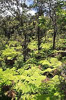 tree fern, Hapu`u, Cibotium sp., and `Ohi`a Lehua, Metrosideros polymorpha, forest, Hawaii Volcanoes National Park, Kilauea, Big Island, Hawaii