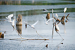 Columbia Ranch, Brazoria County, Damon, Texas; several Cattle Egret (Bubulcus ibis) birds sit on twigs and tree stumps in Lake Glen at twilight, while others are lifting off for flight