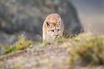 A puma stalks below a ridge in Patagonia, Chile.