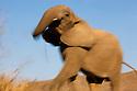 Namibia;  Namib Desert, Skeleton Coast,  desert elephant (Loxodonta africana), threatening pose