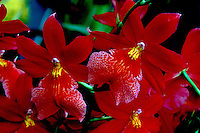 Burrageara Nelly Isler Orchid Hybrid